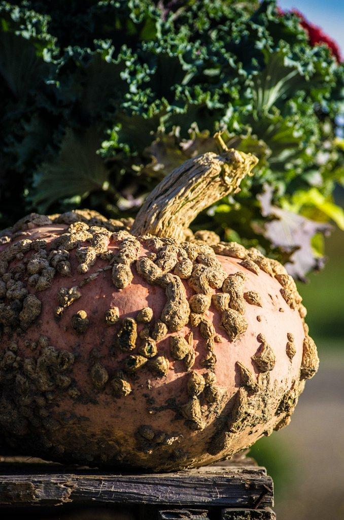 Kürbisportrait - Portrait of a Pumpkin